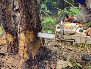 Close up picture of a groundsman cutting down a tree with a chainsaw in Port St Lucie, FL